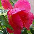 朝露にぬれるバラ