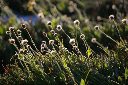 パンサーメドウの花